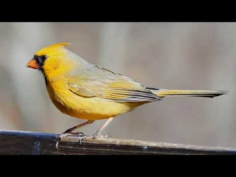 The Most Beautifully Top 21 Yellow Birds In The World Right Now Trends