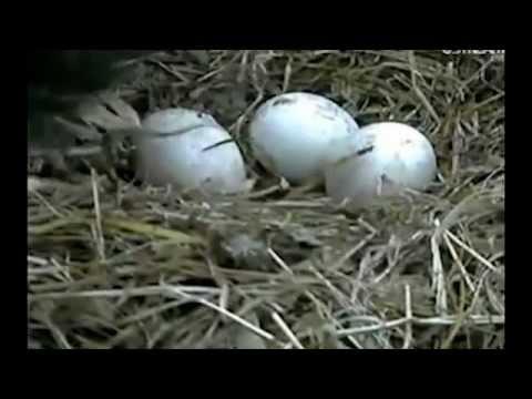 Eagle Egg Hatching Eagle Egg Hatching - V...