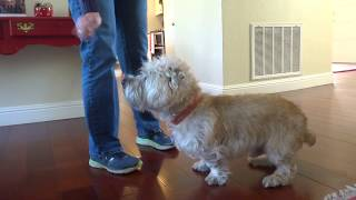 Glen of Imaal Terrier Sullivan