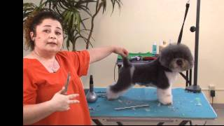Grooming A Grey & White Bichon Mix In A Personality Trim With Irina 'pina' Pinkusevitch Ncmg