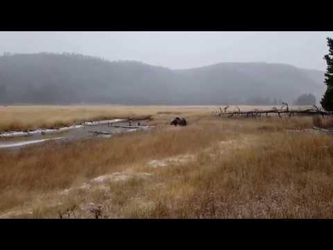 When man meets bear in Yellowstone!