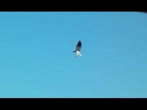 White-tailed Kite And Hummingbird Sightings, Southern California, 10-19-2013
