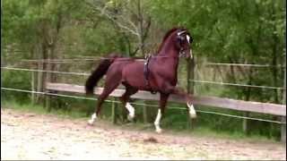 dutch harness horse Aureool