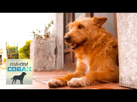 Португальская борзая. Планета собак 🌏 Моя Планета