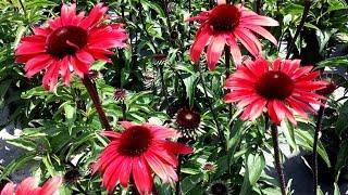 Best Perennials - Echinacea 'Solar Flare' (Coneflower)
