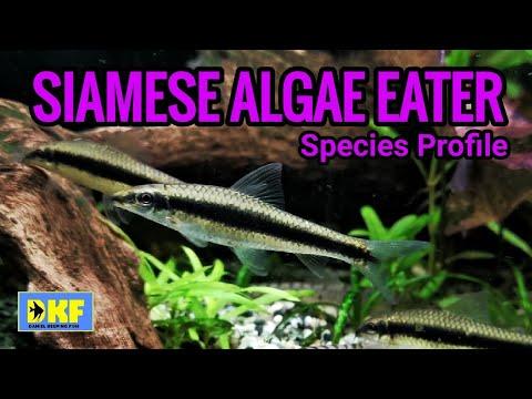 Siamese Algae Eater Species Profile