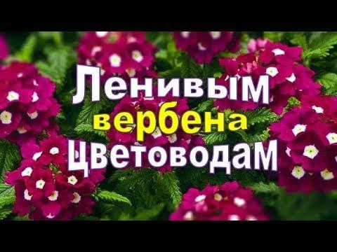 ✿ღ ✿ Для ленивых цветоводов,сажаем вербену! Можно и не поливать рассаду!✿ღ ✿