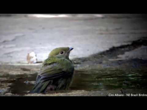 Araripe Manakin - soldadinho-do-araripe - Antilophia bokermanni on YouTube