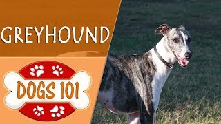 Dogs 101  GREYHOUND  Top Dog Facts About the GREYHOUND