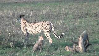 Mom and 6 cheetah cubs playing