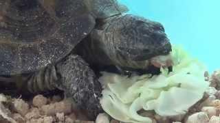 Черепаха ест. Сухопутная среднеазиатская черепаха (степная).