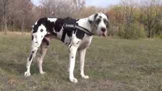 Great Dane Dog Training in a Nylon Harness