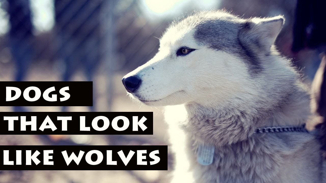Dogs That Look Like Wolves But Don