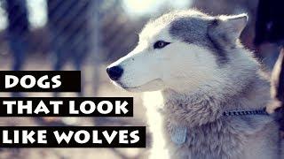 Скачать List Of Dogs That Look Like Wolves Dog Breeds