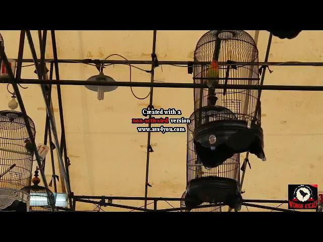 Lovebird-Lovebird konslet Cibodas Enterpris Edisi Lovebird bebas aksi