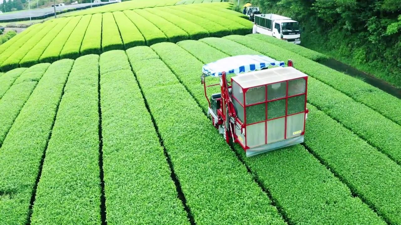 """""""Kotokuen"""" Japanese green tea garden in Kumamoto Japan"""