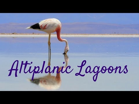 Travel Adventures in the Atacama Desert: Altiplano Lagoons & Flamingo Reserve