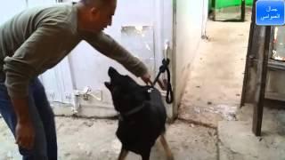 كيف تبداء تدريب كلب خام كلب لايفهم بتاتا من مرحله الصفر على الطاعه مع جمال العمواسي