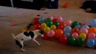 DOG vs. BALLOONS