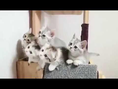 Kucing lucu - Nang Ning Ning Nang