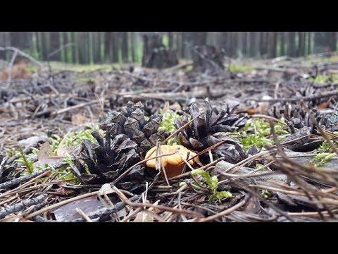 Где растут лисички? В сосновом лесу!