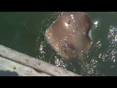 CATCH RAY SHARK IN KARACHI MANGROVES