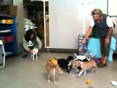 Pit Bull Puppy Party at  SFACC