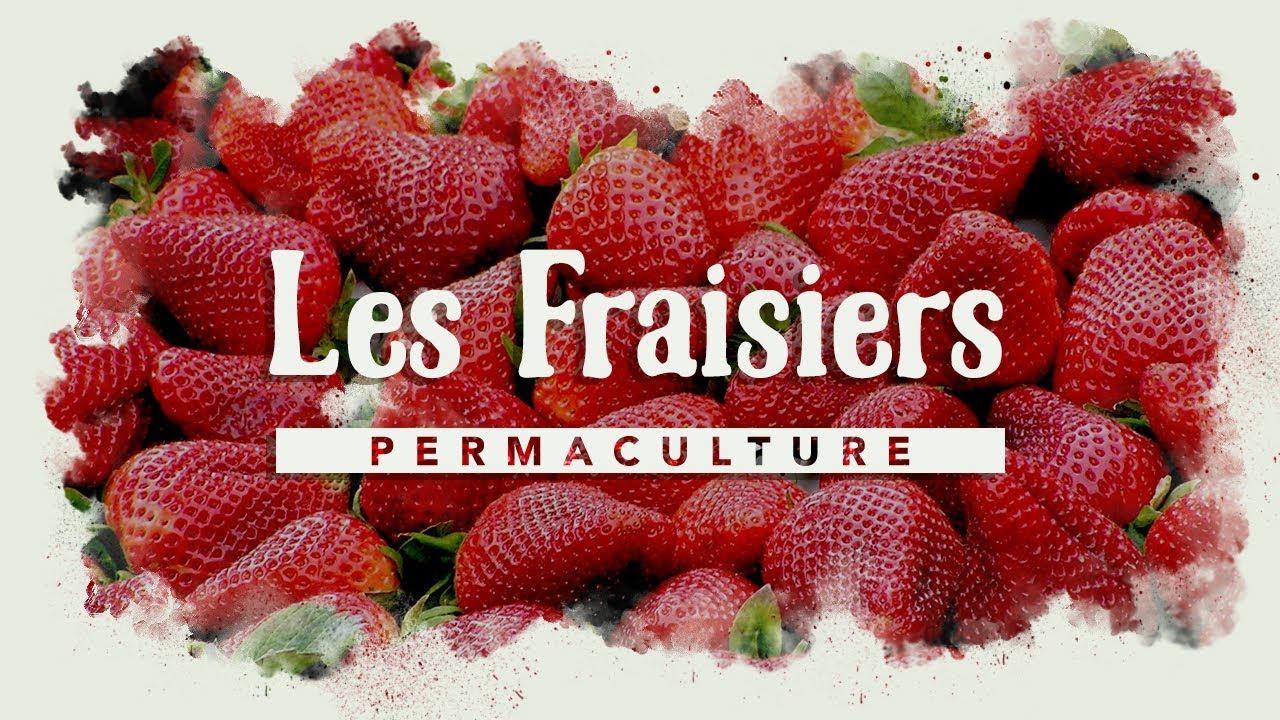 Comment Faire Des Graines De Fraises comment avoir des fraisiers par centaines ? #permaculture