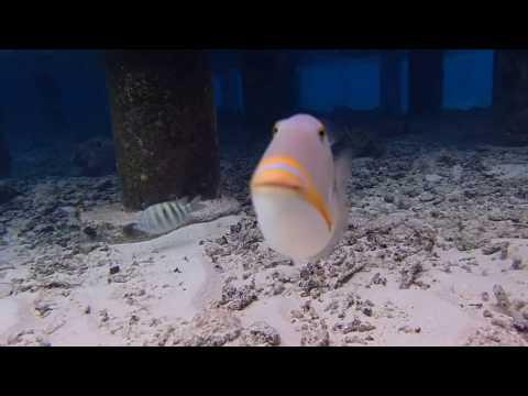 Aggressive Triggerfish Of The Maldives
