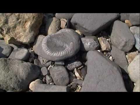 Charmouth & Lyme Regis / Collecting Fossils At The Jurassic Coast / Dorset UK / Ammonites