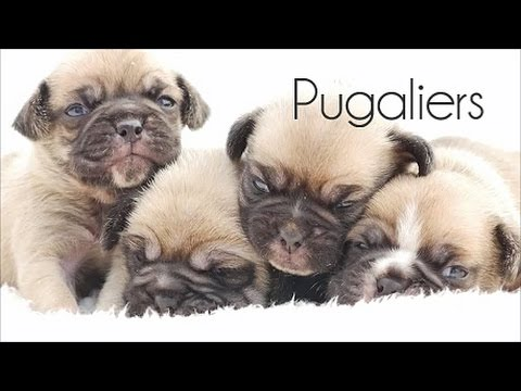 Cute Pugalier Puppies