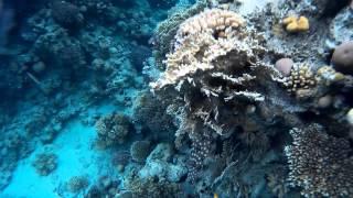 Длинношипая рыба-еж. (Porcupinefish)