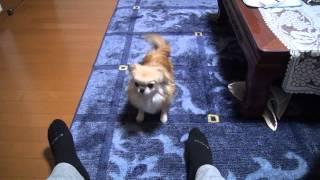 犬の動画です。芸をさせています。 チワワの方は膝蓋骨(内方)脱臼して...