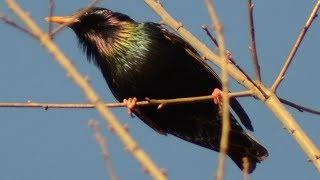 Starling bird call / sounds