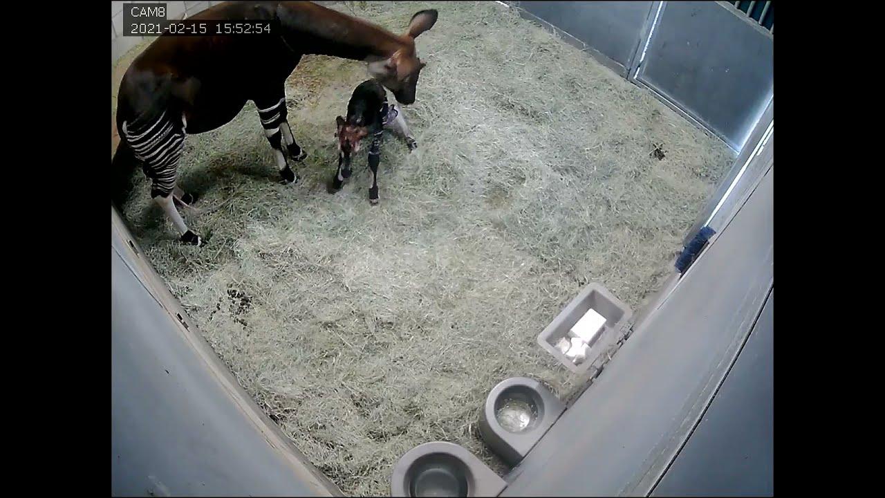 Toby the Okapi's Birth