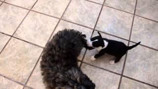 Bull Terrier - Black Brindle Filhote