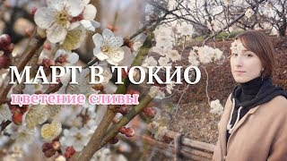 В Токио наступила весна! Чем отличается слива от сакуры?