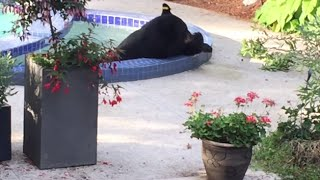 Bear Cools Down In Vancouver Couple's Pool (storyful, Animals)