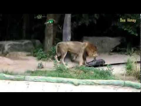 100 секунд 8 Лев съел кабана Lion Ate Wild Boar
