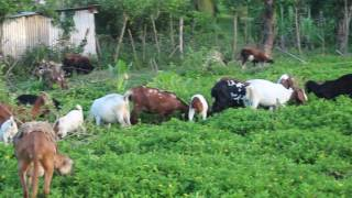 Deon Wong's Goat & Sheep Farm in Dolphin Bay Portland..Jamaica