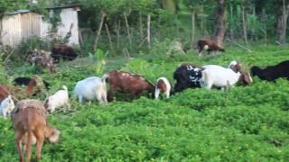 Deon Wong's Goat & Sheep Farm in Dolphin Bay Portland..Jamaica