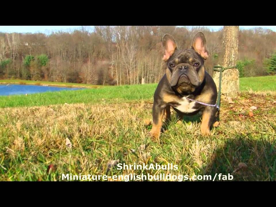 French Bulldog Blue Tan Blue Tri Once In A Blue Moon Youtube