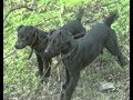 Fell And Moorland Terrier Club Filmed Late 90 S mp3