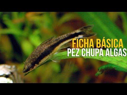PEZ OTOCINCLUS (FICHA BASICA) | ACUARIOS DE TEHUACÁN
