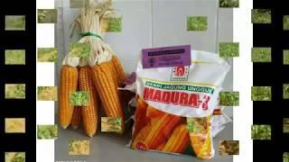 Download Video Profil Produk Jagung Madura - Zakera Seed - PT. GIRI AGRO RAYA SEJAHTERA MP3 3GP MP4