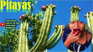 Gambar cover Cortando PITAYAS de TEMPORAL en los cerros de la Mixteca 🌵 🍇 🌎