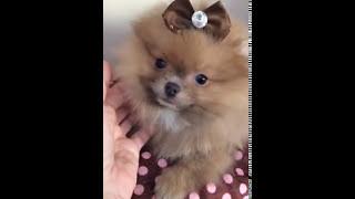 Gorgeous Teddy Bear Face Green Eye Pomeranian For Sale