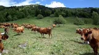 Vaches en Alpages 1650 m (Naves en Savoie)