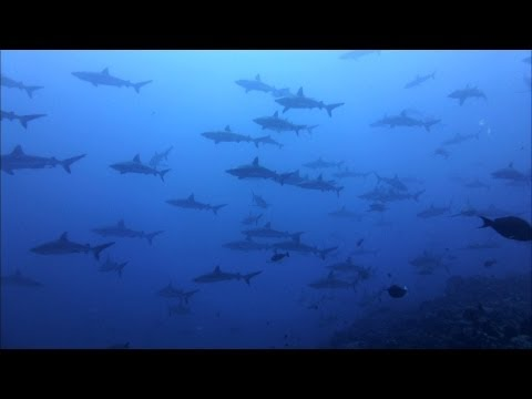 Best of Diving French Polynesia 2012, Sharks and Rays
