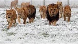 وثائقى ناشيونال جيوغرافيك / مفترسات البرد القارس # خلق ليفترس عالم الحيوانات المفترسة